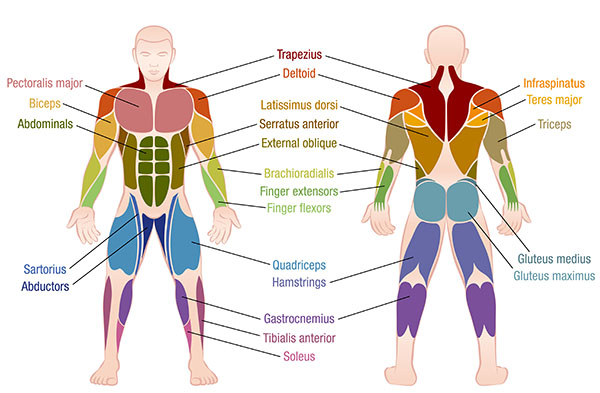 What Muscles are Used in Swimming